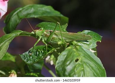 male great green bush cricket or katydid Latin tettigonia viridissima on a capsicum leaf in summer in central Italy