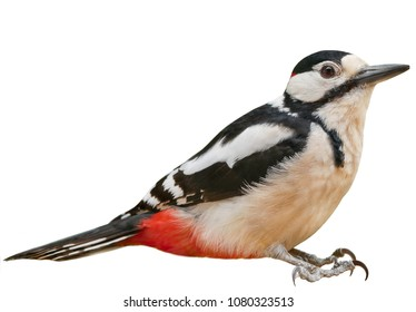 Male Great Spotted Woodpecker (Dendrocopos major), isolated, with White  background