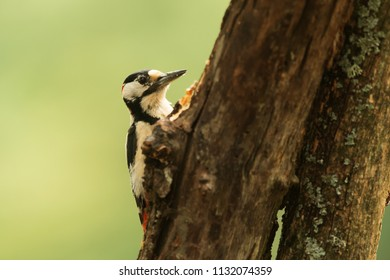 male Great spotted woodpecker Dendrocopos major close up