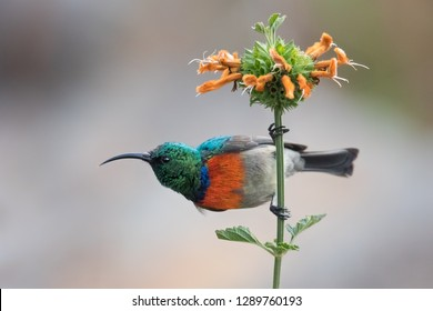 A male Greater double collared Sunbird (Cinnyris afer) perched on a flower stem, against a blurred natural background, South Africa