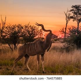 Male greater kudu at sunset, Moremi Game Reserve, Okavango Delta, Botswana