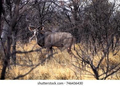 the male Greater kudu, Tragelaphus strepsiceros in the Etosha National Park, Namibia