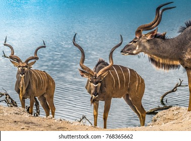 Male greater kudus, Chobe National Park, Botswana