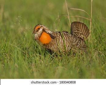 A male greater prairie chicken displays his bright orange air sacs and fanned tail as he performs his courtship ritual on the lek.