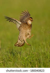 A male greater prairie chicken flies into the lek to begin his early morning courtship display.