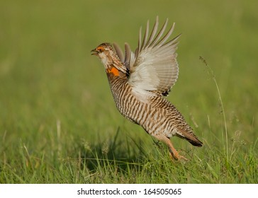 A male greater prairie chicken takes flight from its dancing lek in the prairies of Oklahoma