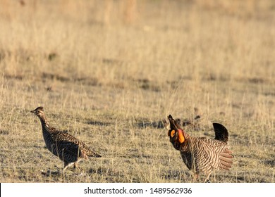 A male Greater Prairie-Chicken chases a female during a mating ritual on the prairie of eastern Colorado