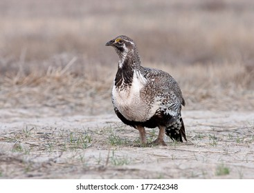 A male greater sage grouse arrives at the lek in the predawn hours of a frosty spring day