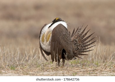 A male greater sage grouse struts and dances on the lek in the early dawn.