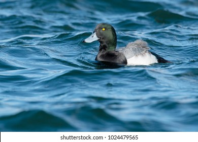 Male Greater Scaup swimming in the choppy water. Tommy Thompson Park, Toronto, Ontario, Canada.