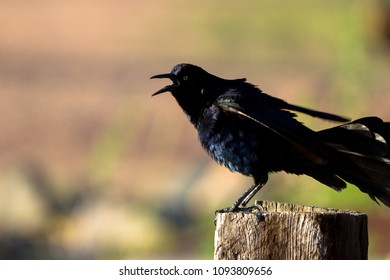 Male Great-tailed Grackle cries at dawn beside the marsh at Dead Horse State Park near Cottonwood, Arizona