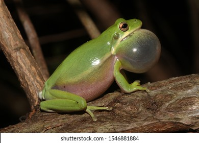 A male Green Tree Frog (Hyla cinerea) sits on a branch making its characteristic honking call.  Its vocal sac is inflated with air to help it call more frequently. Seen in South Carolina.