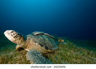 male green turtle (chelonia mydas)