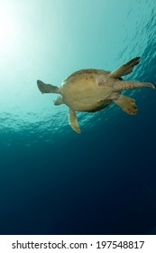 Male green turtle in the Red Sea