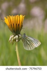 Male Green veined White, butterfly (Pieris napi), on a Taraxacum (Blowballs)