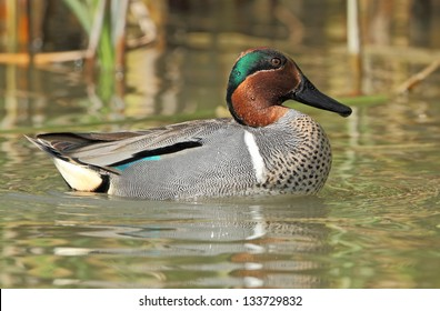 Male Green-winged Teal (Anas crecca) - Texas