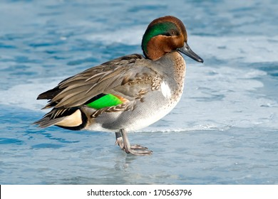 A male Green-winged Teal is standing on the ice. Humber Bay Park, Toronto, Ontario, Canada.