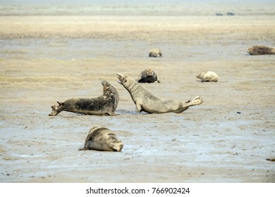 male grey seal while fighting at Donna Nook Lincolnshire beach