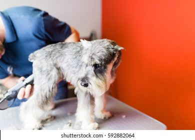 Male groomer grooming 'salt and pepper' miniature schnauzer at grooming salon.