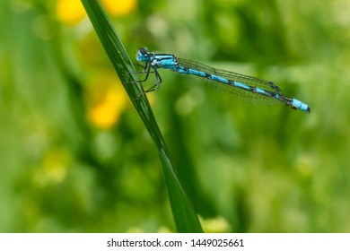 A male Hagen's Bluet Damselfly is perched on a blade of grass. Carden Alvar Provincial Park, Kawartha Lakes, Ontario, Canada.