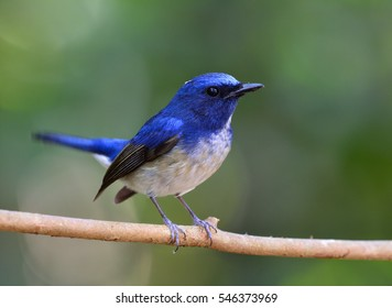 Male of Hainan blue flycatcher (Cyornis hainanus) beautiful blue bird perching on the branch with tail wagging, fascinated nature