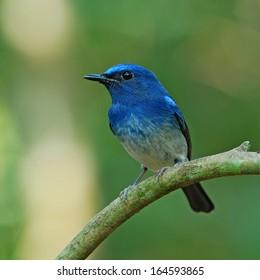 A male Hainan Blue Flycatcher(Cyornis hainana)