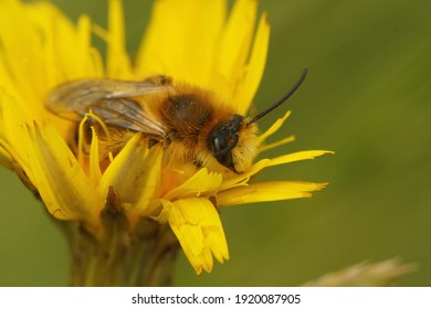 A male hairy-legged mining bee (Dasypoda hirtipes) on a yellow flower