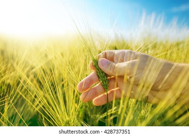 Male hand in barley field, responsible farming and dedicated agricultural production, crop protection and growth control, selective focus.