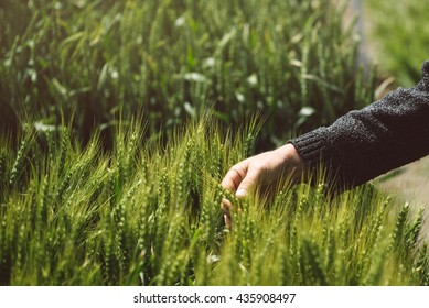 Male hand in cultivated wheat field, farmer examining plants