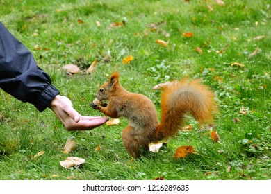 Male hand is giving a walnut to reddish squirrel (Sciurus vulgaris) in the city park. Squirrel standing on hind legs and taking nut from human hand