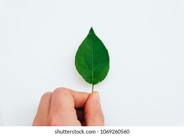 Male hand hold a small fresh green leaf isolated on a white background, nature and ecology concept photography