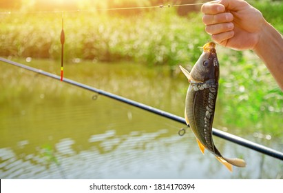 Male hand holding caught mirror carp. River fishing. Copy space