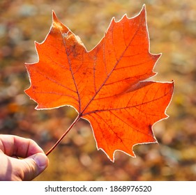 male Hand holding giant maple leaf with frost on it.