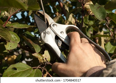 A male hand holds a pruner to cut old branches. Garden work with branches and foliage. Garden shears closeup, at work.