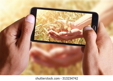 Male hand taking photo of Ripe wheat ears on hand on field with cell, mobile phone.