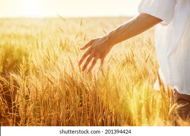 Male hand touching a golden wheat ear in the wheat field, sunset light, flare light.Unrecognizable person, copy space