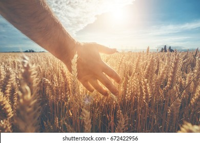 Male hand touching a golden wheat ear in the wheat field, sunset light, flare light. Ukrainian landscape.