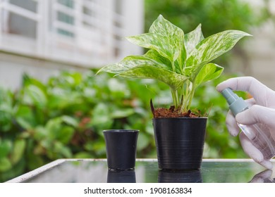 male hand wear white glove watering spotted betel in small black pot put on mirror table at garden home