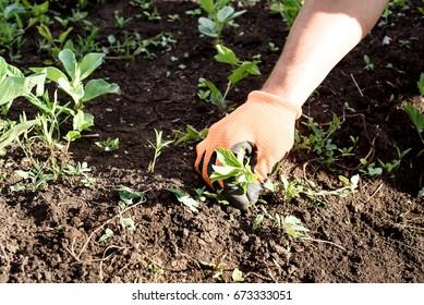 Male hand wearing an orange glove weeds a garden in daylight