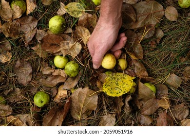 Male handpicking wild paradise apples in the autumn morning after the rain.