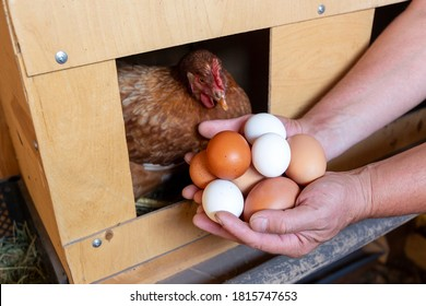 The male hands of the farmer collect the eggs from the henroost. The concept of modern subsistence farming.