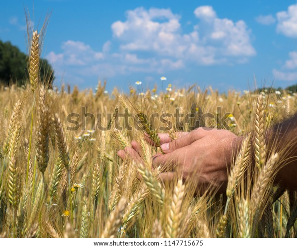 Male hands holding wheat spikelets in field on sunny day.