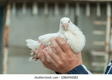 Male hands holding a white chicken