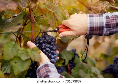 Male hands picking grapes with scissors at harvesting in a vineyard