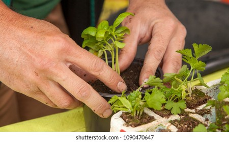 male hands planting basil seedling in a small plastic pot, tray of parsley seedlings close