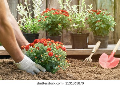 Male hands in protective gloves planting a bush of a red chrysanthemum into the earth in the garden