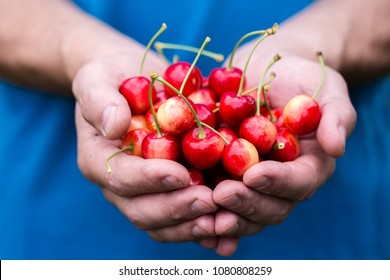 male hands with a red cherry tree, close-up