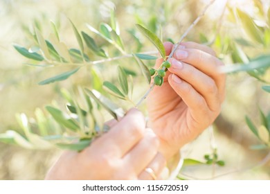 Male hands touch olive's branch with green olives. Olive trees. Olive trees garden. Mediterranean olive field ready for harvest. Italian olive's grove with ripe fresh olives. Olive farm
