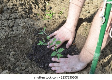 Male hands while planting organic tomato seedling in a private garden in spring