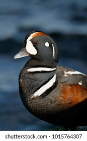 A male Harlequin Duck perched.